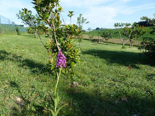 verger et orchidée sauvage aux Gites des Camparros à Nailloux