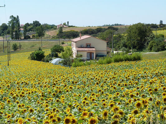 champs de tournesols en fleurs autour des Gites des Camparros à Nailloux