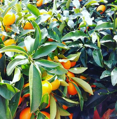 Citrus Bäumchen