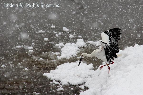 雪の中のコウノトリ。目つきは鋭いけど、気高い感じのコウノトリが好きです。
