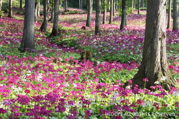 美しい九輪草のお花畑。
