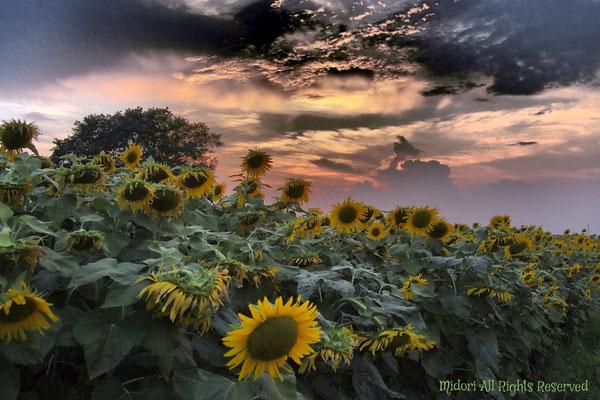 この写真は、自宅近くに出来た向日葵畑を撮りました。(オール関西集団賞)