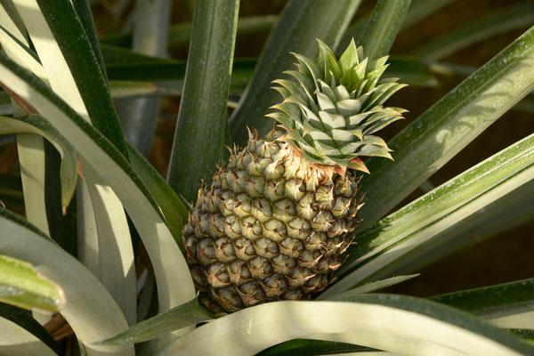 Besuch beim Ananaskönig, Johann Dähler in Costa Rica