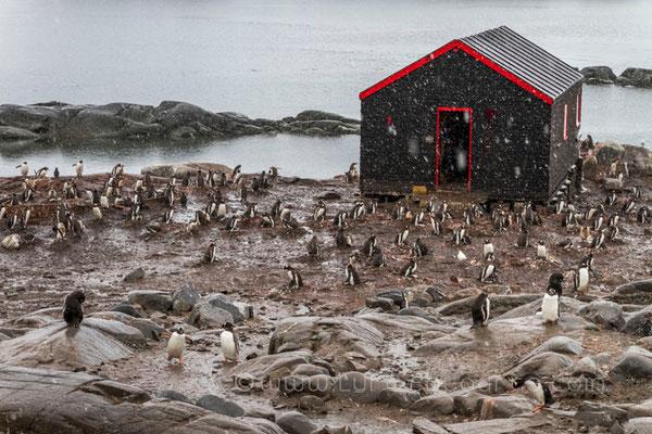 Port Lockroy, Eselspinguine als Forschungsobjekte