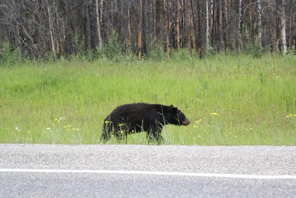 Wir treffen auch in dieser Gegend auf sehr viele Schwarzbären auf Futtersuche.