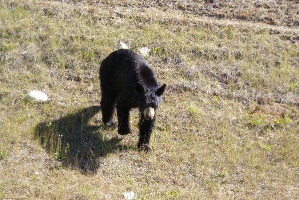 Und wieder ein Schwarzbär, etwas ungewöhnlich verhält er sich, es sieht so aus als wäre er sehr interessiert an unserem Camper. Vermutlich wurde er vorher von Touristen gefüttert um gute Fotos zu schiessen. Dass sollte man niemals machen !!!