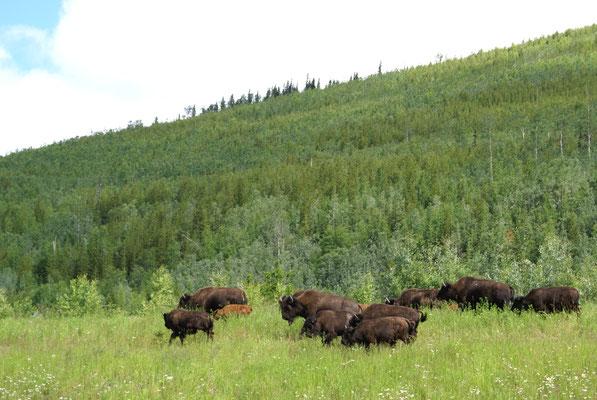 Bisonherde am Strassenrand der Alaska Hwy vor Liard River Hot Springs..
