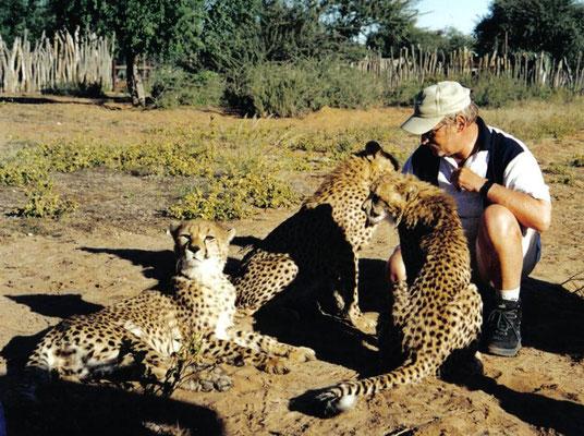 Diese 4 Mt. alte Cheetahs wurden als kleine Baybies vom Buschfeuer gerettet ohne Mutter. Sie wurden aufgezogen in der Harnas Farm wo Sie in einem riesigen Wildgehe ans Jagen gewöhnt werden um Sie im Nationalpark auszuwildern. Harnas Farm, Namibia