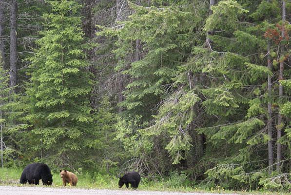 Schwarzbären Familie im Kooteney Nt. Park auf Futtersuche
