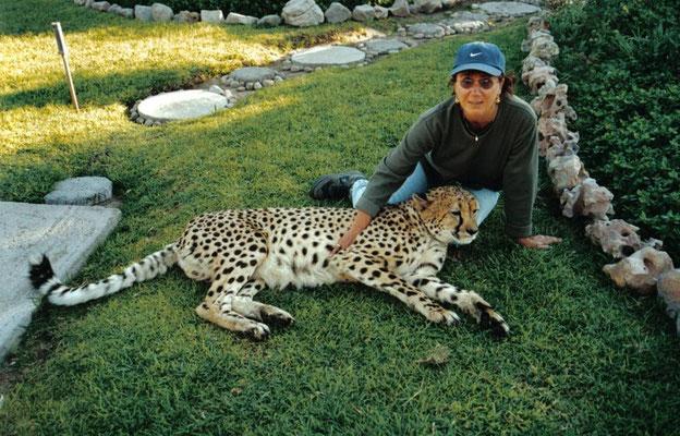 11 jährige Cheetah wurde nach Verletzungen gepflegt und kann nicht mehr ausgewildert werden. Gehört nun zum Inventer des Hauses. Harnas Farm, Namibia