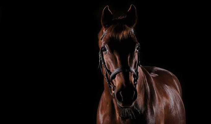 horse in black 02