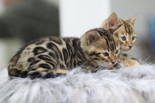 Chats Du Bengal Elevage De La Luna Nueva Chat Leopard Du Bengale Vente Chat Bengal France Achat Chat Bengal France