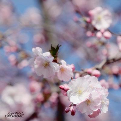 printemps japonisant
