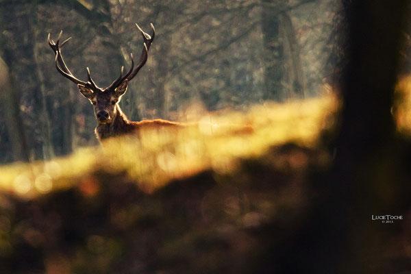 Le Roi des sous bois