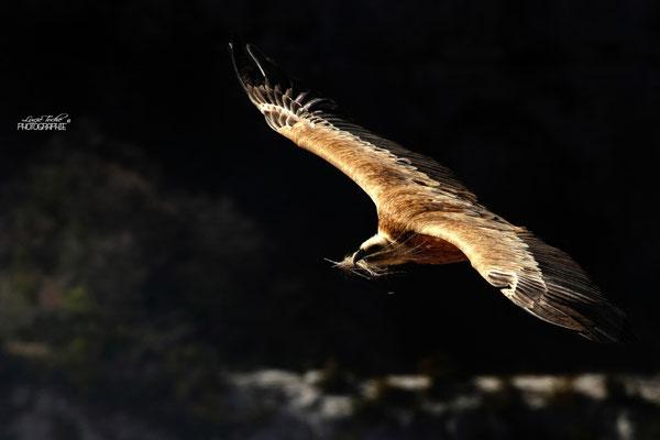Réhabilitation du nid, vautour fauve, Drôme provençale