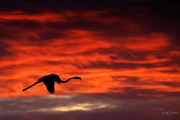 Flamand noir sur ciel rose