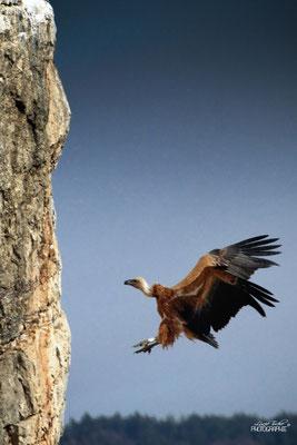 Grâce aérienne, vautour fauve, Drôme provençale