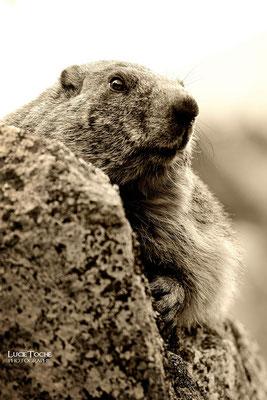 Marmotte, Massif des Ecrins