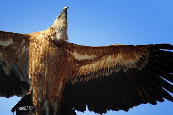 Regard perçant, vautour fauve, Drôme provençale