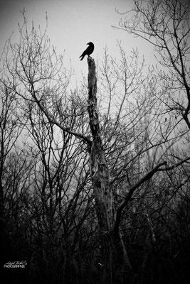 Maitre corbeau sur son arbre perché - Isère