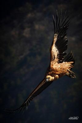Seigneur des airs, vautour fauve, Drôme provençale