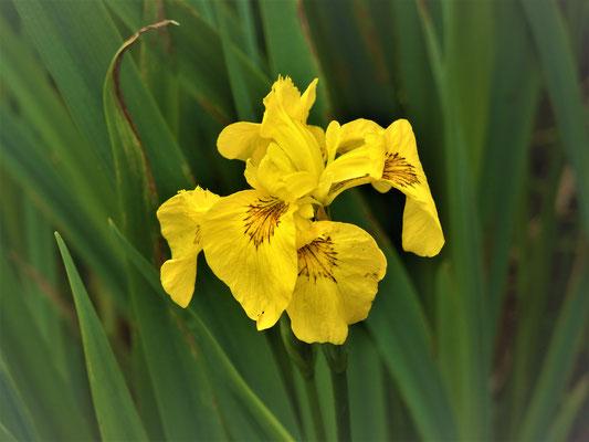 27. Wasserlilie