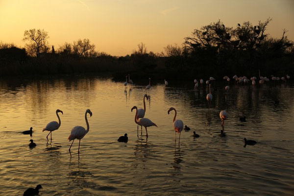<h3>FLAMANTS ROSES AU COUCHANT</h3><p>PARC ORNITHOLOGIQUE DE PONT DE GAU</p>
