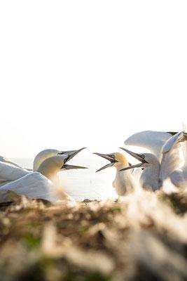Basstölpel / Northern gannet  (Morus bassanus)   09-2021   Helgoland, Germany