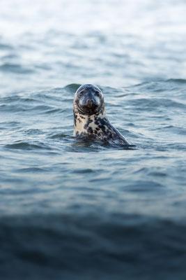 Kegelrobbe / Grey seal (Halichoerus grypus)   09-2021   Helgoland, Germany