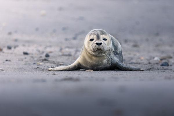 Seehund / Harbor seal (Phoca vitulina)   09-2021   Helgoland, Germany
