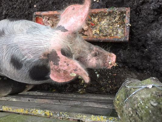 Schwein beim Fressen zusehen
