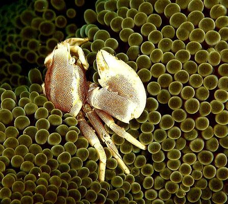 Porcellaine Crab