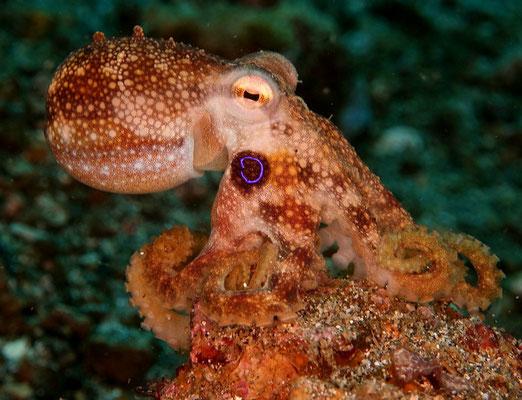 Mototi Octopus