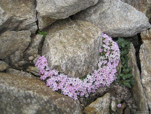 Silène autour d'un rocher