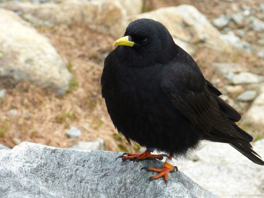 Chocard à bec jaune (Pyrrhocorax graculus) ou plus communément Choucas