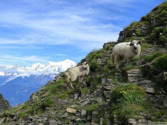 Mouton marteau posant devant le Mt Blanc