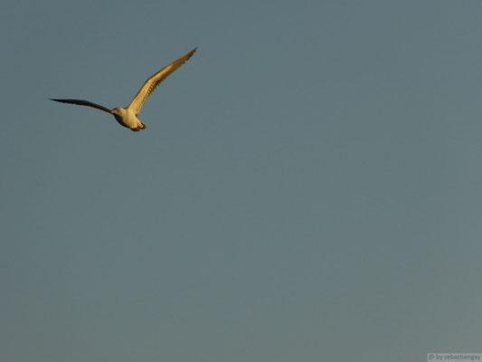 Vol d'une mouette