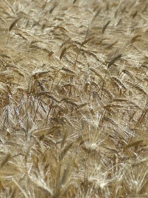 Épis de blé (Plateau de Valensole)