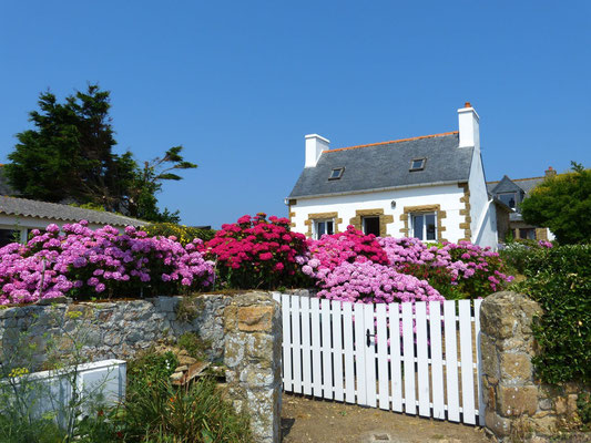 Hortensia (en Bretagne)