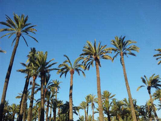 Palmiers à Elche (sud de l'Espagne)