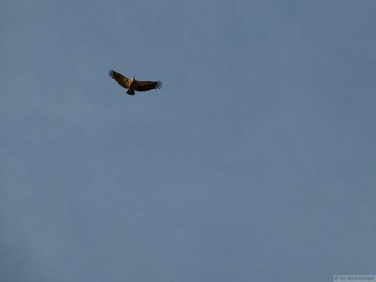 Vol de vautour fauve (Oisan)