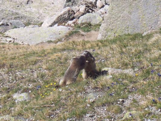 Combat de marmottes?