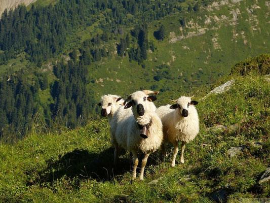 Moutons marteau photogéniques