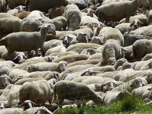 Un tas de moutons