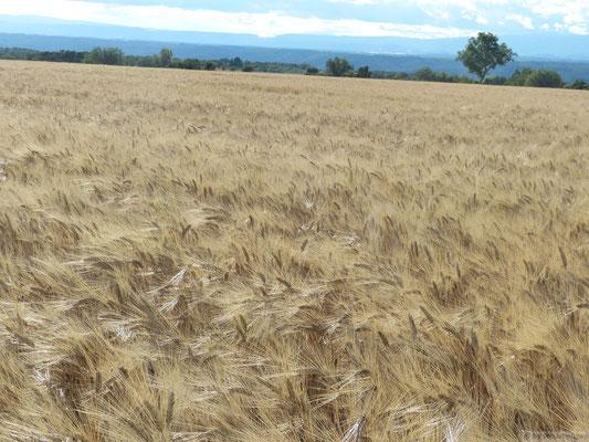 Champs de blé (Plateau de Valensole)