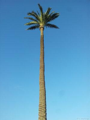 Palmiers bi-centenaire à Elche (sud de l'Espagne)