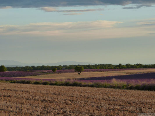 Champs de blé et de lavande (Plateau de Valensole)