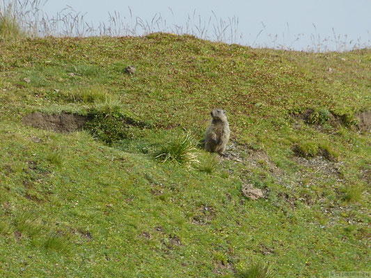 Marmotte au garde à vous
