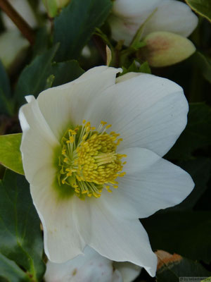 Hellébore (rose de noël)