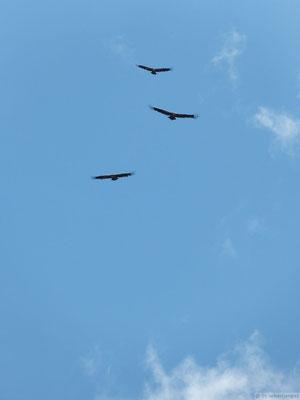 Vol groupé de Vautours fauves (Aravis)